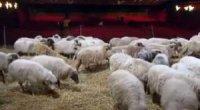 Un gregge di pecore nel primo promo del Festival di Sanremo 2014