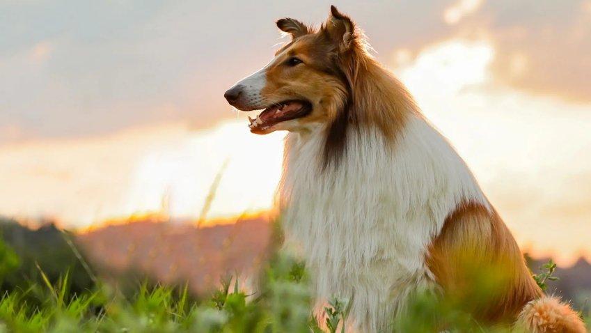 Venerdi 10 Settembre 2021 Sky e Premium Cinema, Lassie torna a casa