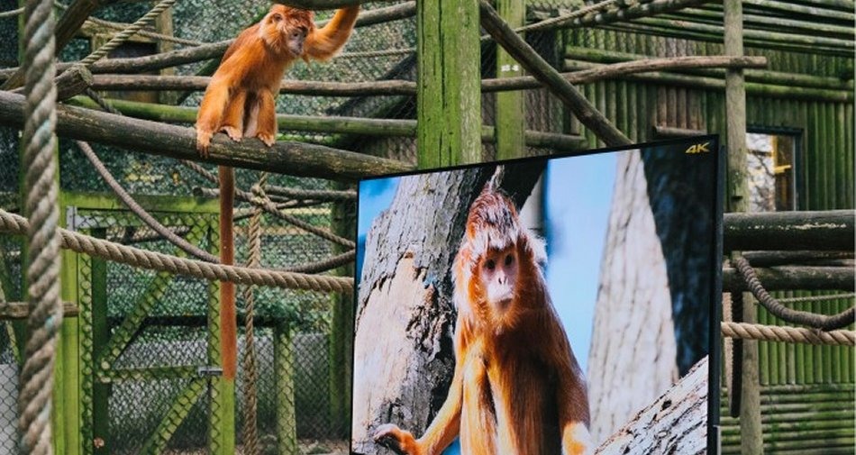 Lemuri e colobini guardano una TV 4K che riproduce immagini identiche a quelle reali
